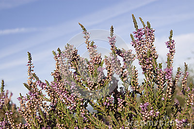 Purple heather on heathland
