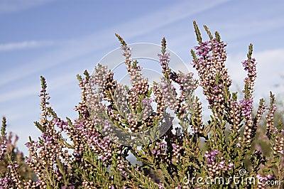Purple heather on heathland