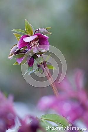 Purple Helleborus in snow