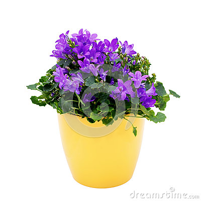 Free Purple House Plant (Campanula) In A Yellow Pot. Royalty Free Stock Photos - 29669148