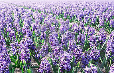 Purple Hyacinthe bulb field