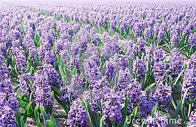 Purple Hyacinthe bulb field