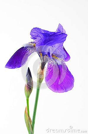Purple Iris -- Flag Flower