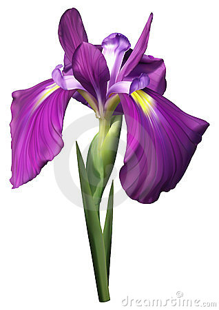 purple iris flower stock photography  image, Beautiful flower