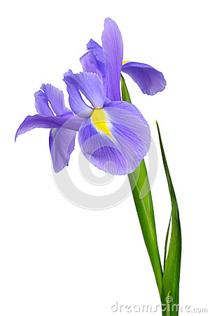 Free Purple Iris Flower Royalty Free Stock Photos - 30299688