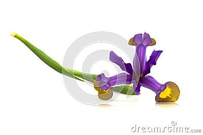 Purple Iris Flower (Iris Versicolor)