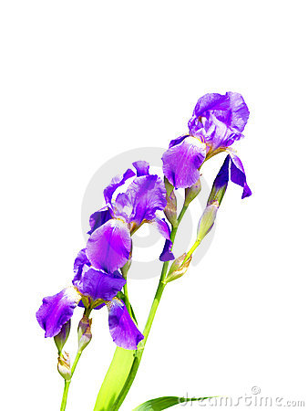 Purple iris flower on a white background