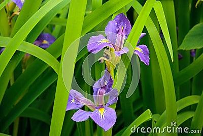 Purple Iris Flowers (Iris germanica)