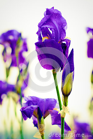 Purple iris germanica