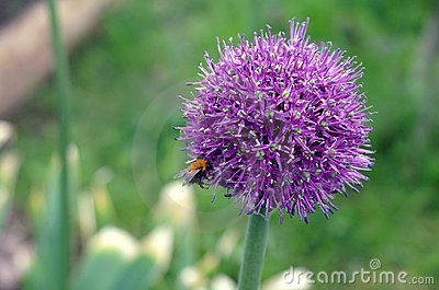 Purple Japaneese leek with a bee