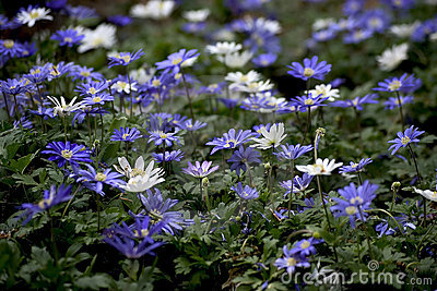 Purple japanese anemone flowers