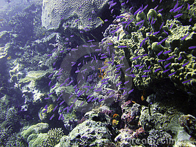 Purple juvenile fish swarm