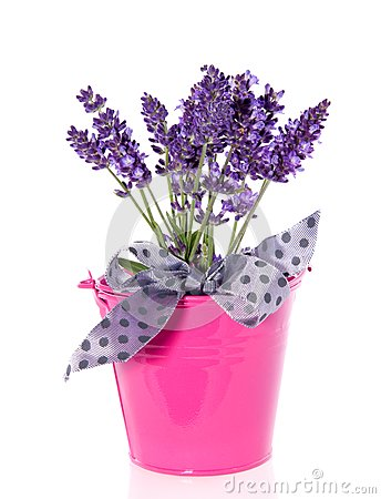 Purple lavender in a pink bucket