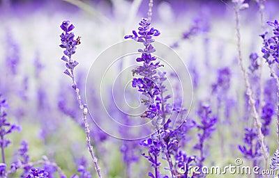 Purple lavenders flower
