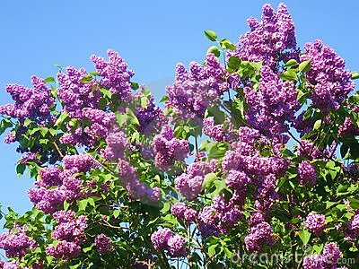 Purple lilac on blue sky