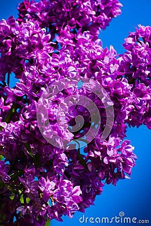Purple lilac in blue sky