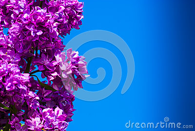 Purple lilac in blue sky