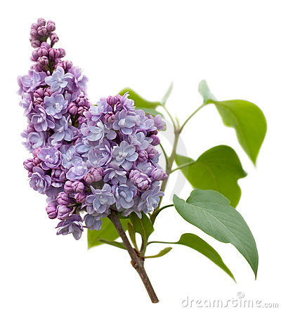 Free Purple Lilac Flowers Isolated On White Royalty Free Stock Images - 17715939