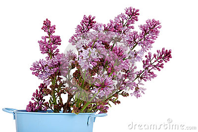 Purple Lilac flowers in a pail