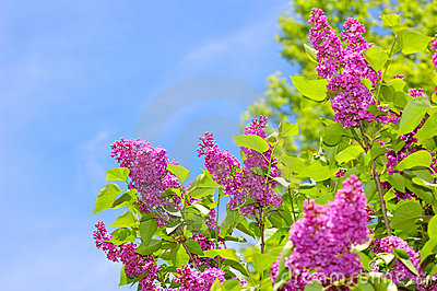 Purple Lilacs and Blue Sky