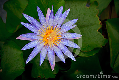 Purple lily lotus with fresh water dew and green l