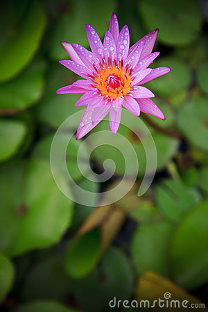 Purple lily lotus and green leaves background