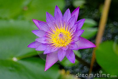 Purple lotus flower blossom