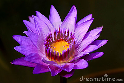Purple Lotus Flowers
