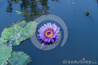Purple lotus in a pond with water lilies