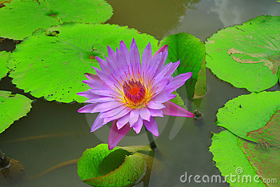Purple lotus in water