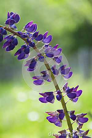 Purple lupine flower