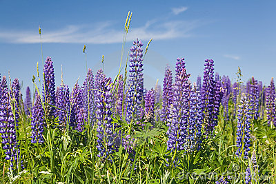 Purple lupine flowers