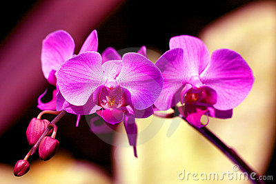 Purple Moons Orchid