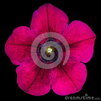 Purple Morning Glory Flower Isolated on Black