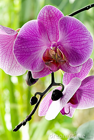 Free Purple Orchid Stock Photos - 9559013