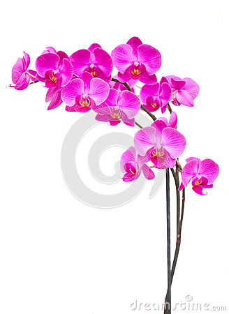 Free Purple Orchid Branch Royalty Free Stock Photography - 36720697