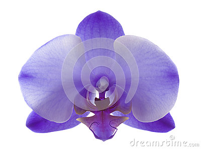 Purple Orchid Closeup