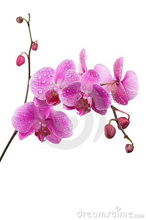 Free Purple Orchid Isolated On White Royalty Free Stock Photos - 11858578