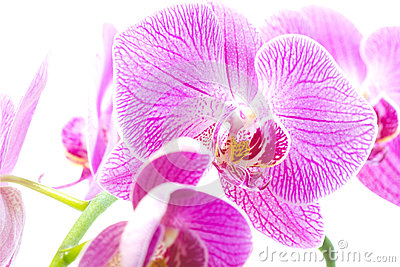 Purple orchid isolated white