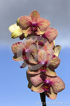 Purple orchid on sky background