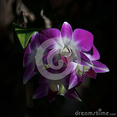 Purple Orchids Front View