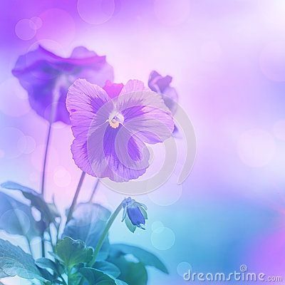 Free Purple Pansies Flowers Royalty Free Stock Image - 31478156