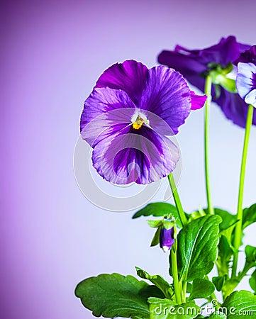 Free Purple Pansy Flowers Royalty Free Stock Image - 31478196