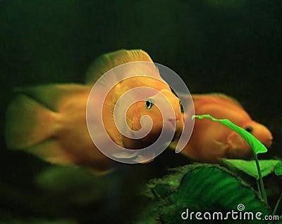 Purple Parrot Fish Stock Images - Image: 12895744