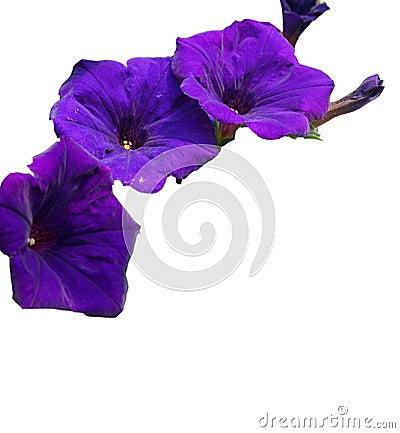 Purple petunia edge isolated.