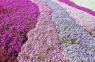 Purple, pink carpet of flowers.