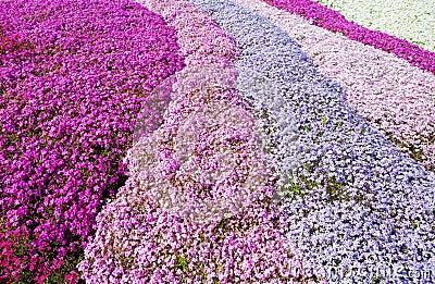 Purple, pink carpet of flowers.