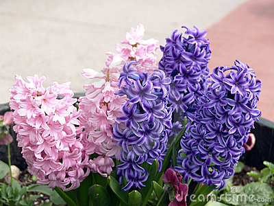 Purple and Pink Hyacinth