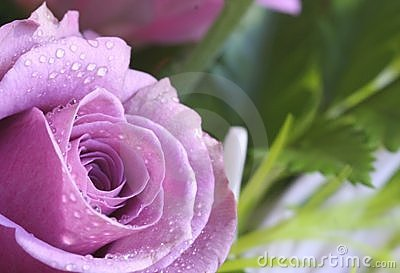 Purple-pink rose