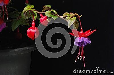 Purple and red Fuschia